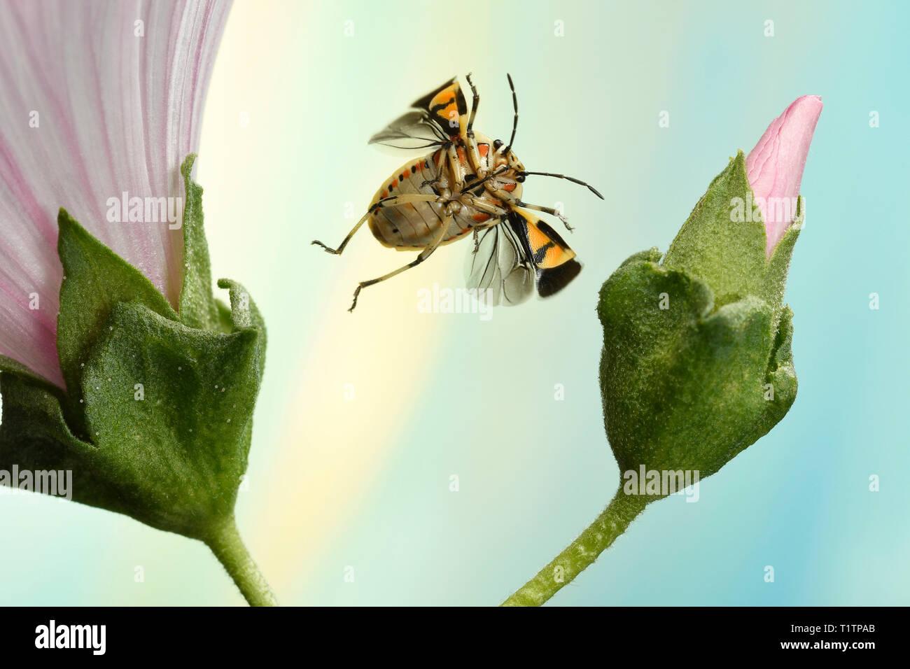 Schmuckwanze (Eurydema ornata), im Flug, an Malve (Malva), Deutschland Stock Photo