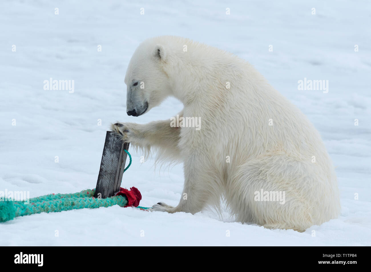 Polar Bear (Ursus maritimus) inspecting rope and pole that holds expedition ship, Svalbard Archipelago, Norway - Stock Image