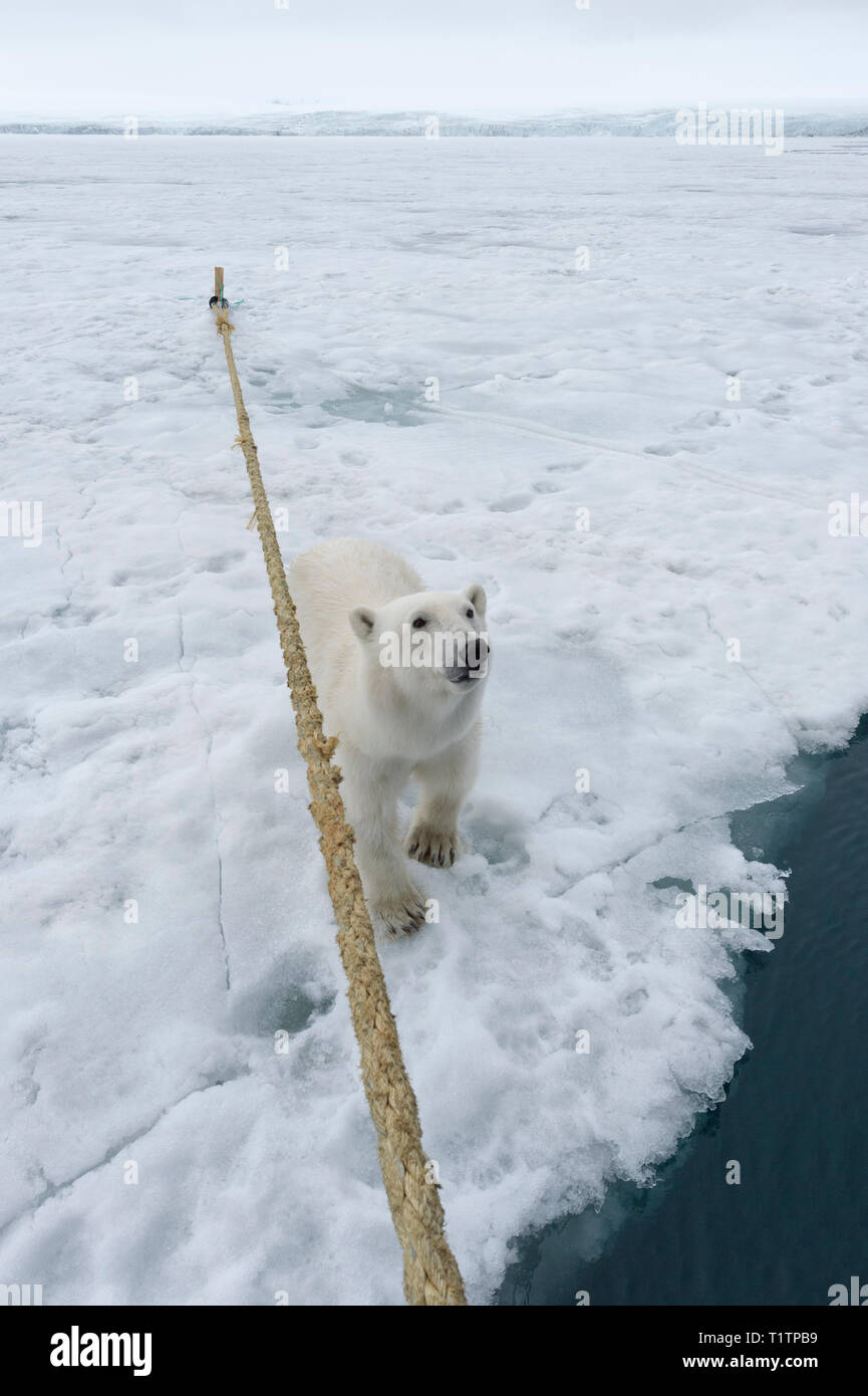 Curious Polar Bear (Ursus maritimus) sitting beside expedition ship and looking up, Svalbard Archipelago, Norway - Stock Image