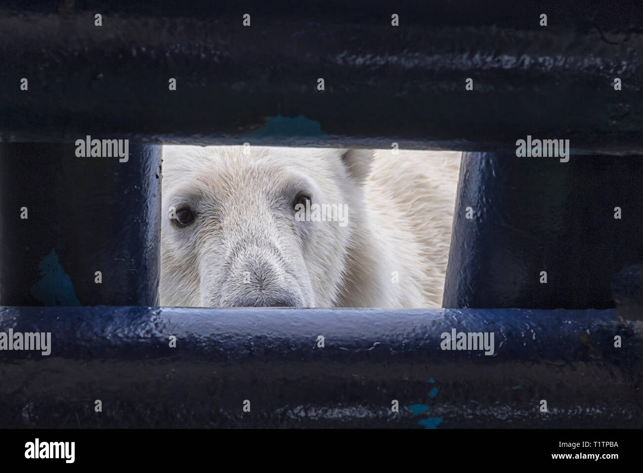 Polar Bear (Ursus maritimus) looking through opening in ship's deck, Svalbard Archipelago, Norway - Stock Image