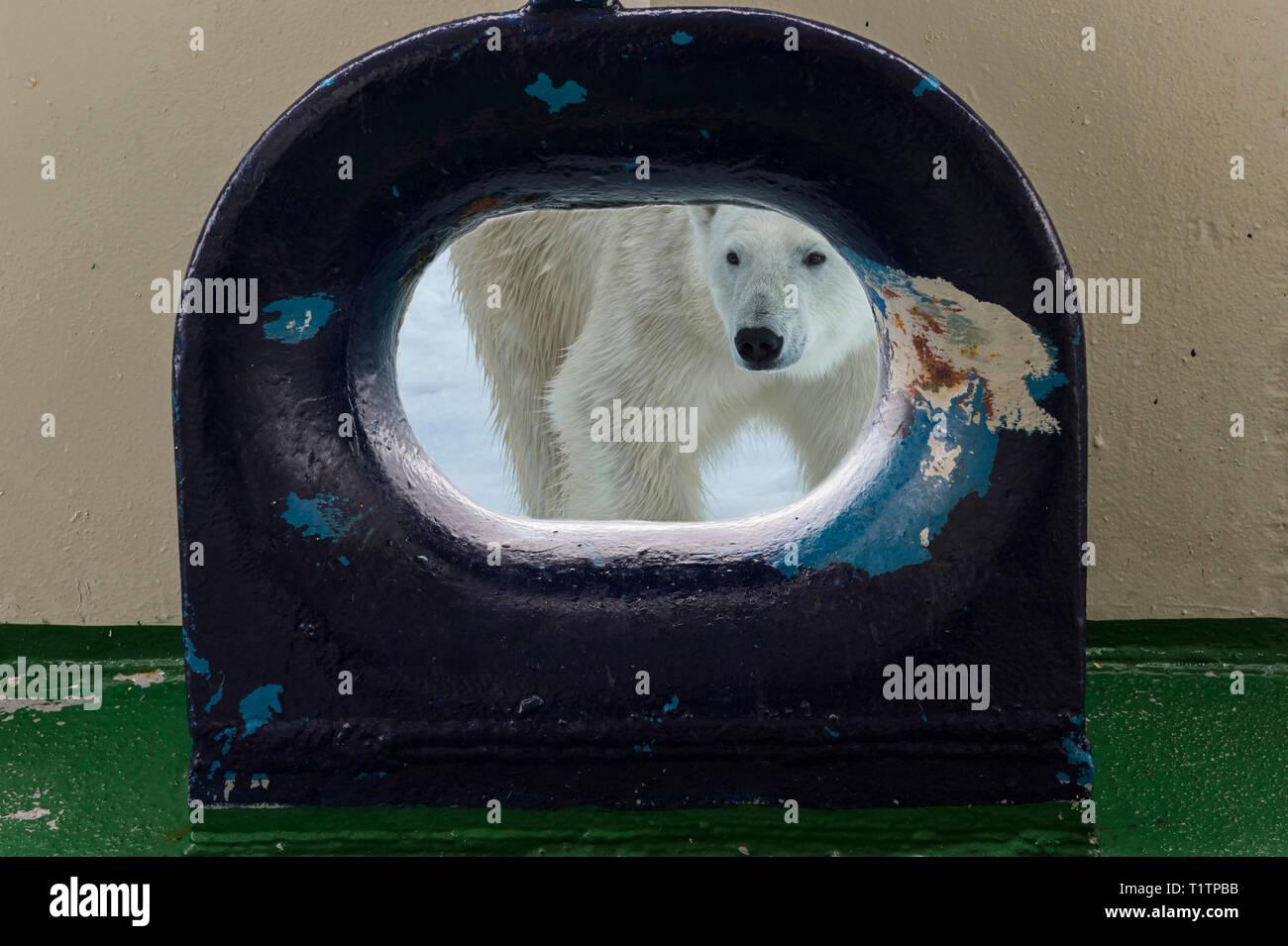 Polar Bear (Ursus maritimus) looking through opening in ship's deck, Svalbard Archipelago, Norway - Stock Image
