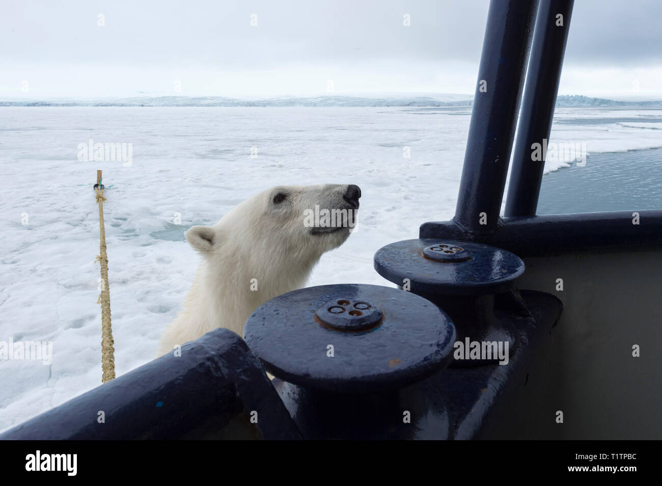 Polar Bear (Ursus maritimus) trying to climb expedition ship, Svalbard Archipelago, Norway - Stock Image