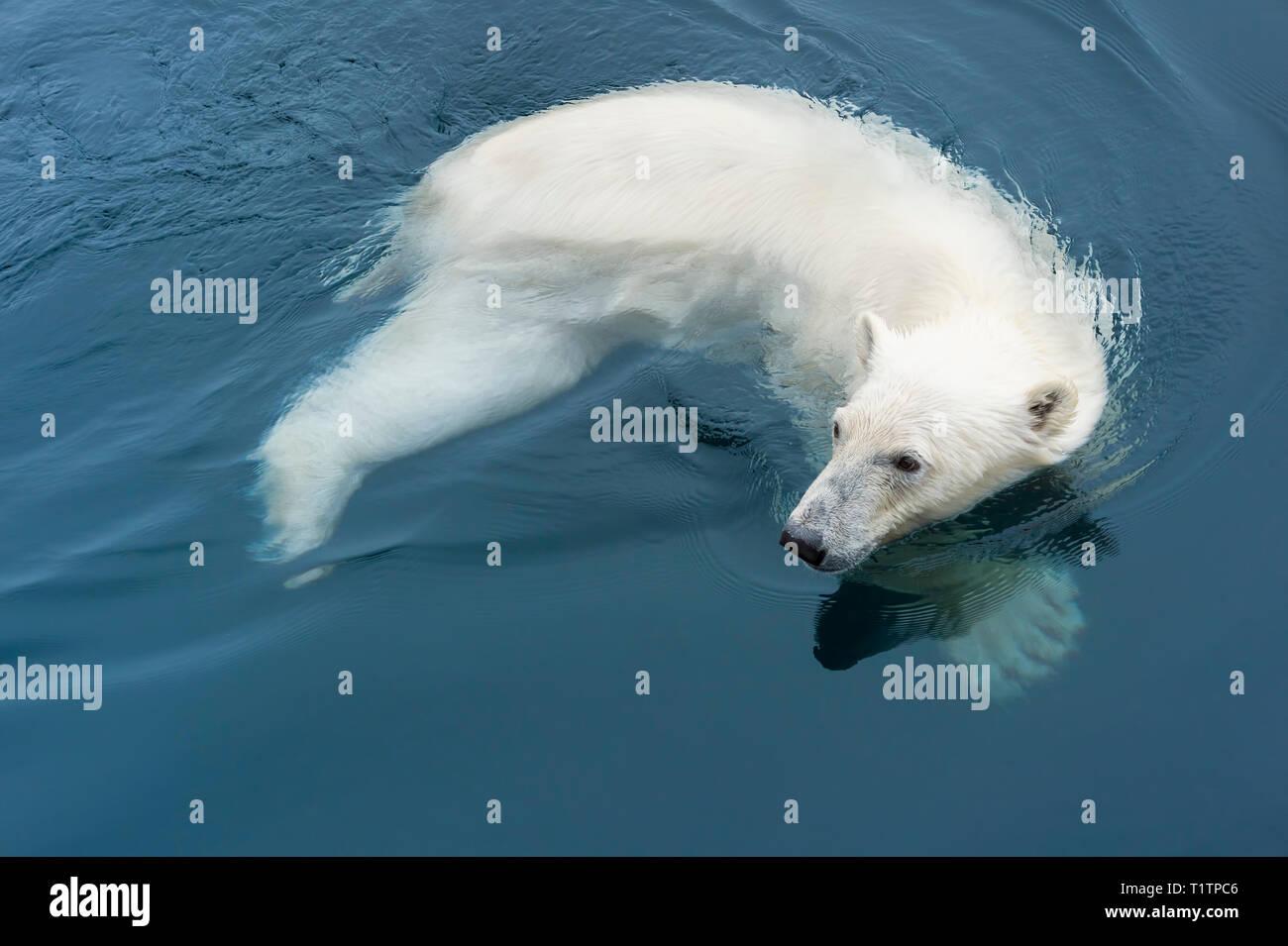Polar Bear (Ursus maritimus) swimming, Svalbard Archipelago, Norway - Stock Image
