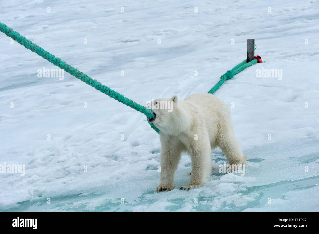 Polar Bear (Ursus maritimus) pulling and biting on rope of expedition ship, Svalbard Archipelago, Norway - Stock Image