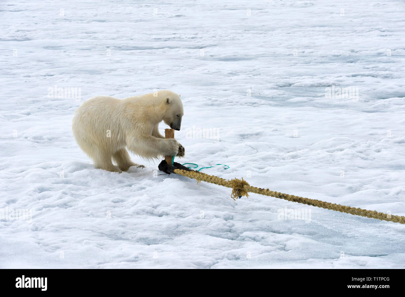 Polar Bear (Ursus maritimus) inspecting rope and chewing on pole of expedition ship, Svalbard Archipelago, Norway - Stock Image