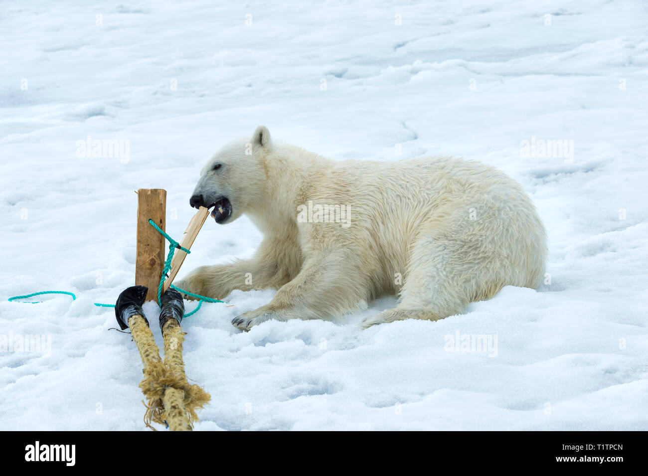 Polar Bear (Ursus maritimus) inspecting and chewing on pole of expedition ship, Svalbard Archipelago, Norway - Stock Image