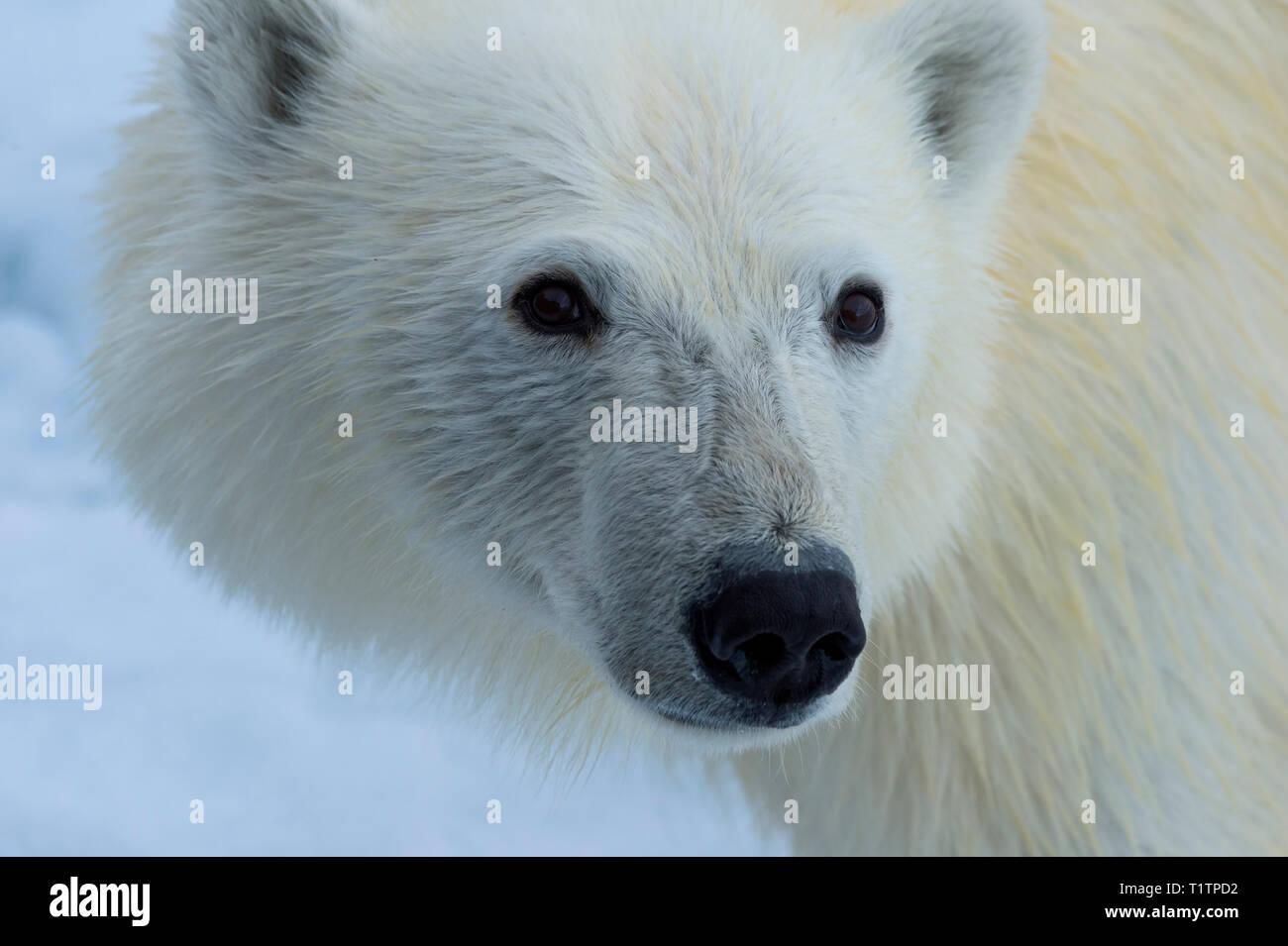 Polar Bear, Svalbard Archipelago, Norway - Stock Image