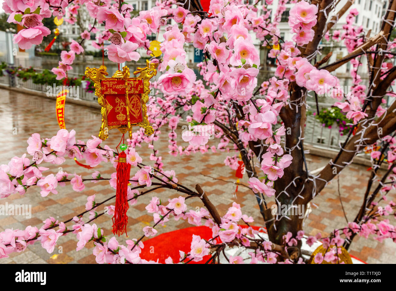 Pink peach flowers on blooming trees on the streets for celebrating Tet, Vietnamese new year in Hanoi, Vietnam. - Stock Image