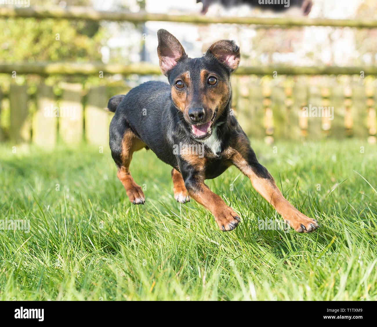 black and tan Irish Terrier - Stock Image