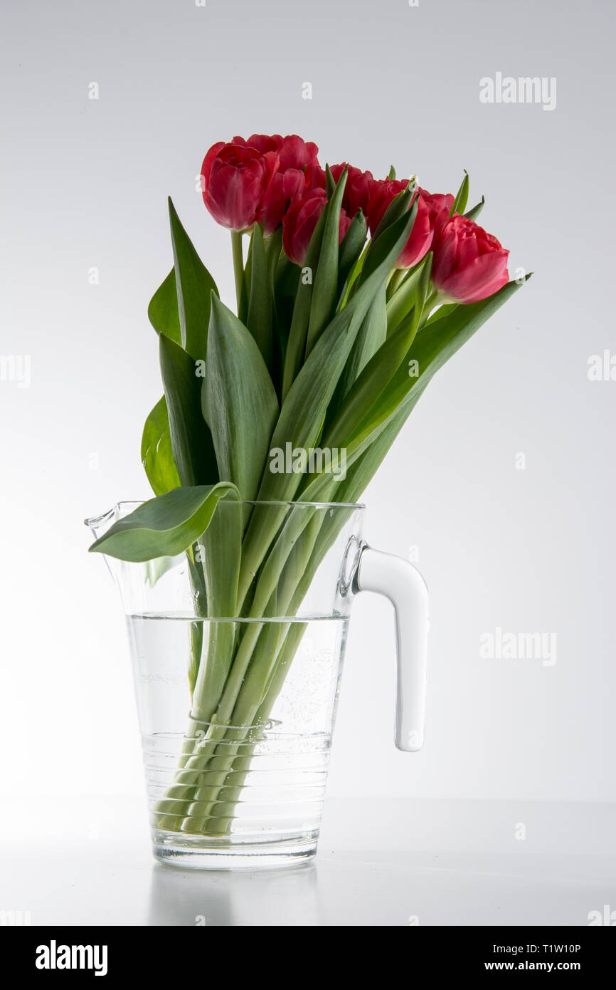 British tulips in a jug on white background - Stock Image