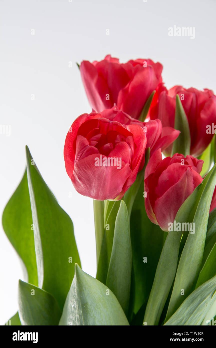 Close up of British tulips on white background - Stock Image