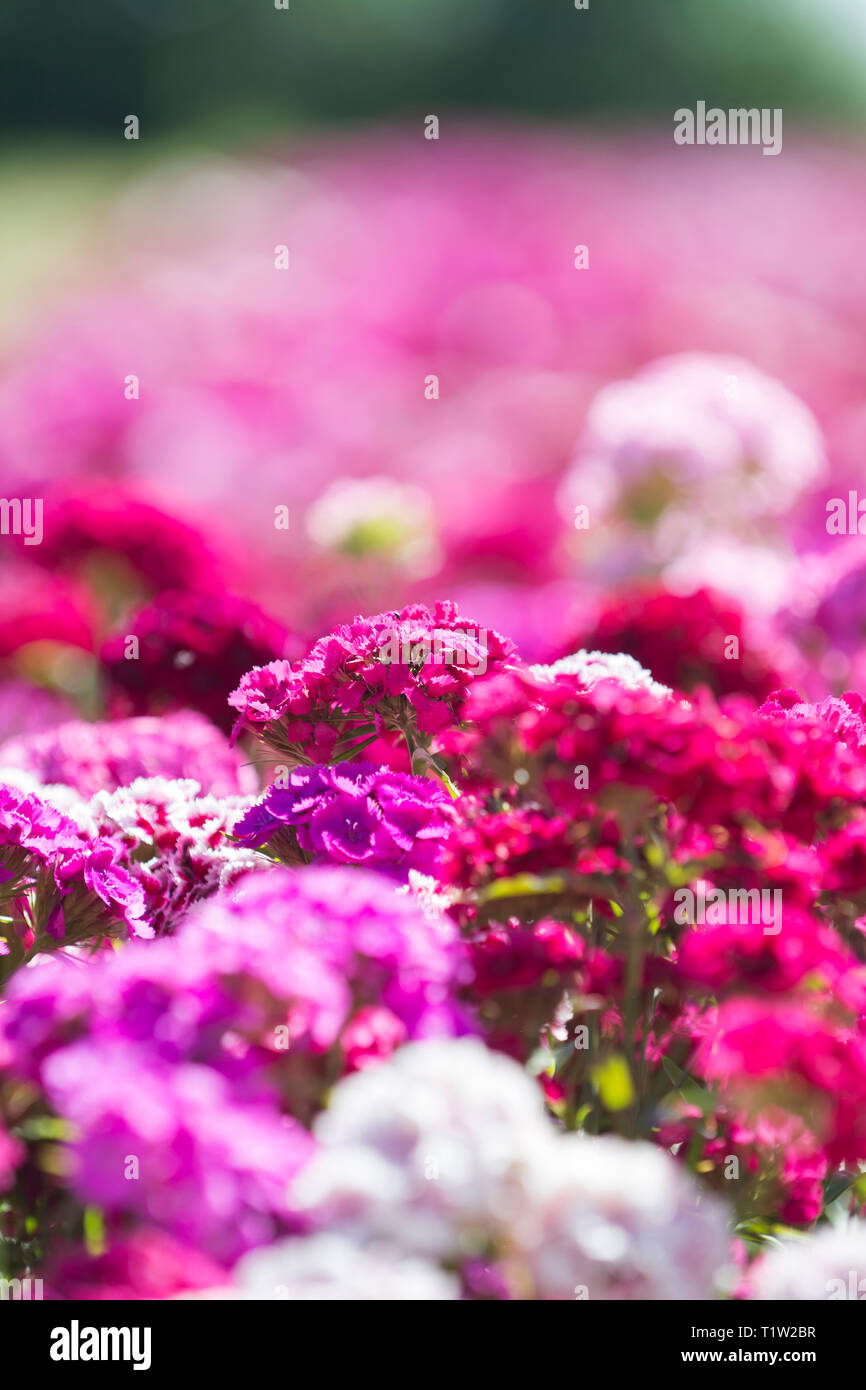 Sweet Williams flowers in field close up - Stock Image