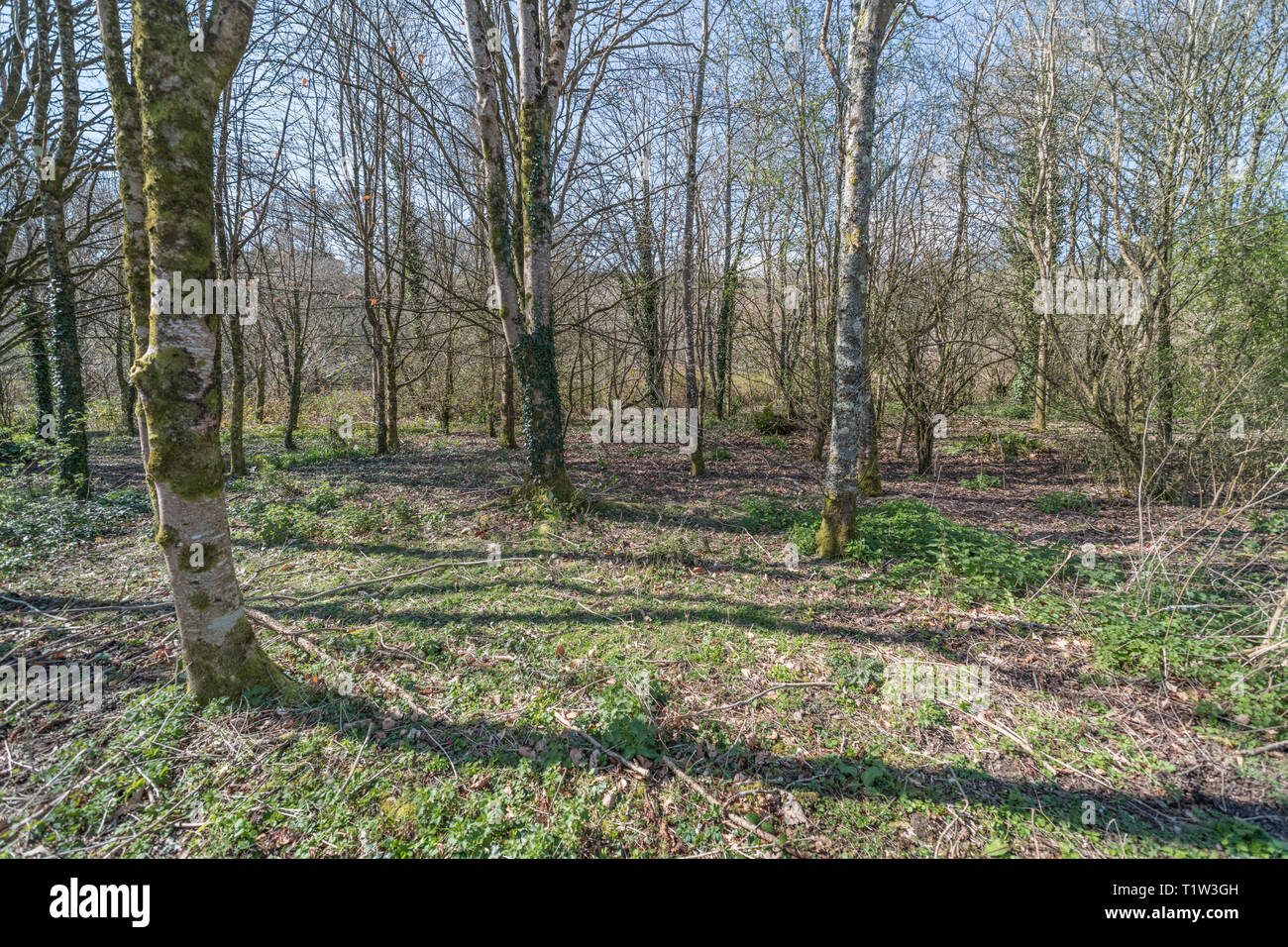 Open sunny woodland glade recently cleared of understory and brush. Stock Photo