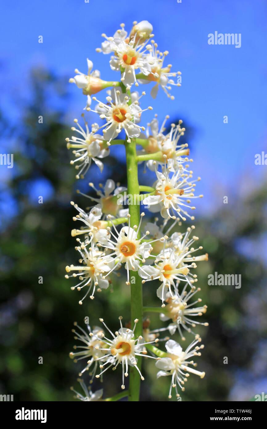 Flowering Cherry Laurel (Prunus laurocerasus), - Stock Image