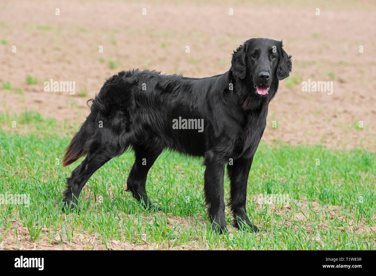 Black flat-coated retriever in field, gundog / gun dog breed originating from the United Kingdom - Stock Image