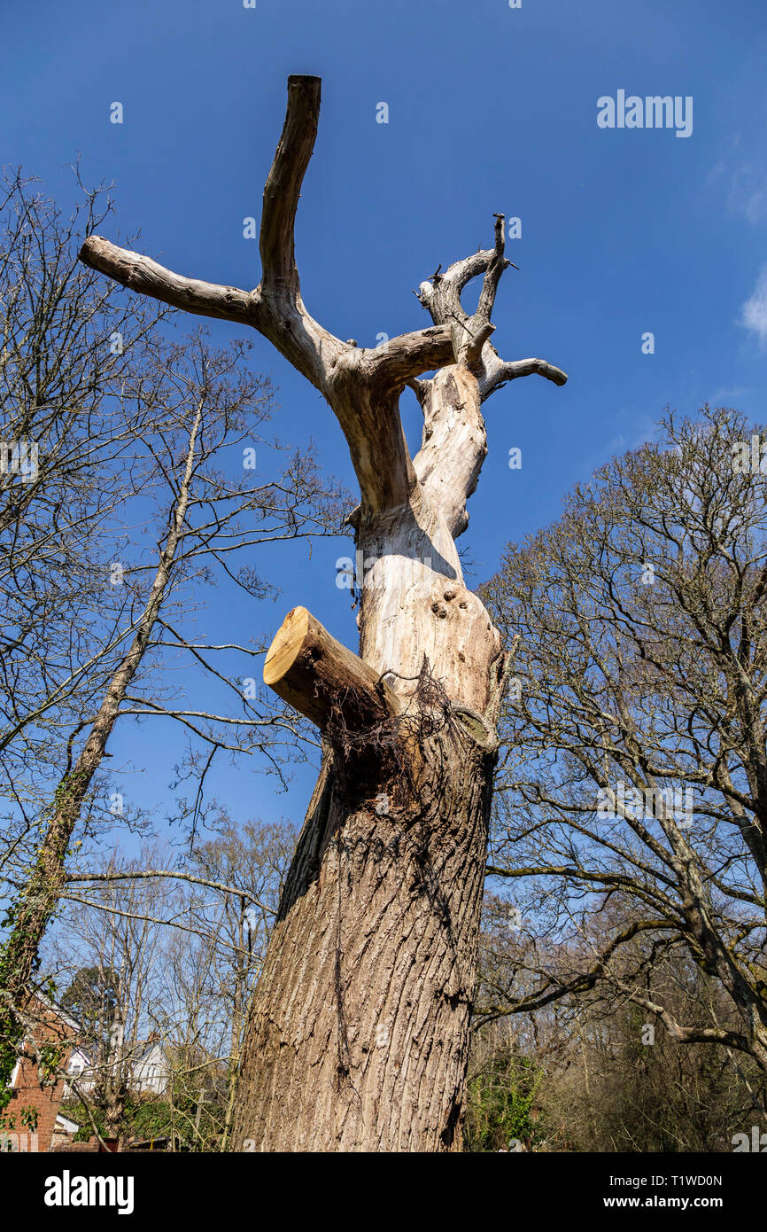 A tree with all branches removed ready for chopping down, white bark against a blue sky. Stock Photo