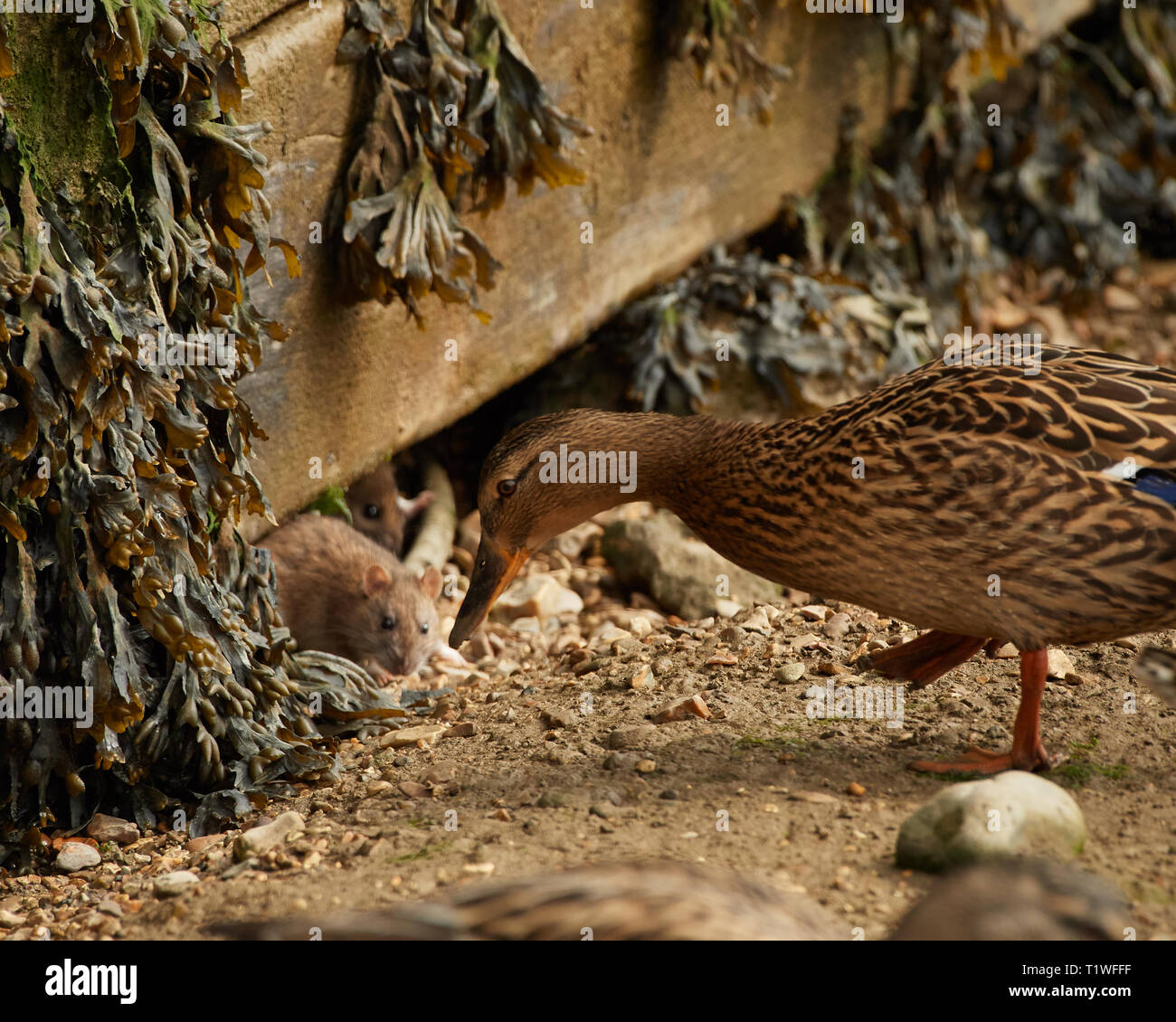 Pastel and charming scene of a duck and small rats in close proximity. Feeding together on seeds in coastal scene. - Stock Image