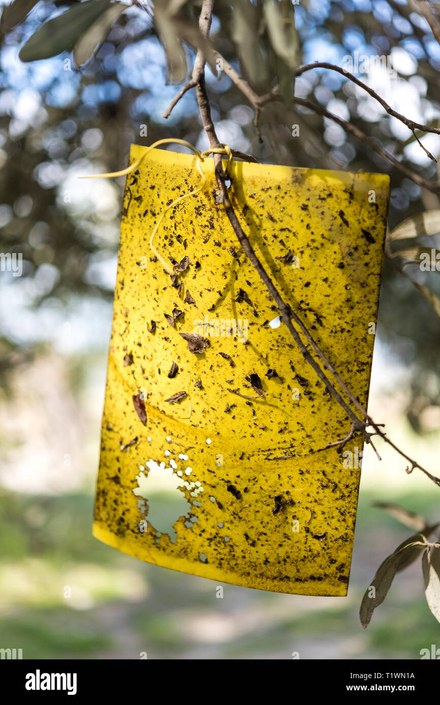 Yellow fly trap paper on Olive trees Stock Photo
