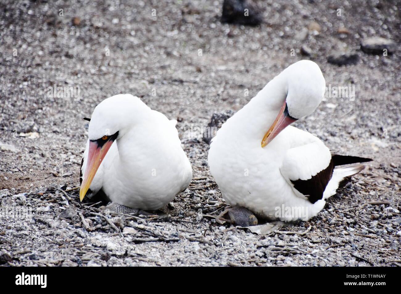 Nazca booby bird Sula granti couple sitting in the nest warming small chicken - Stock Image
