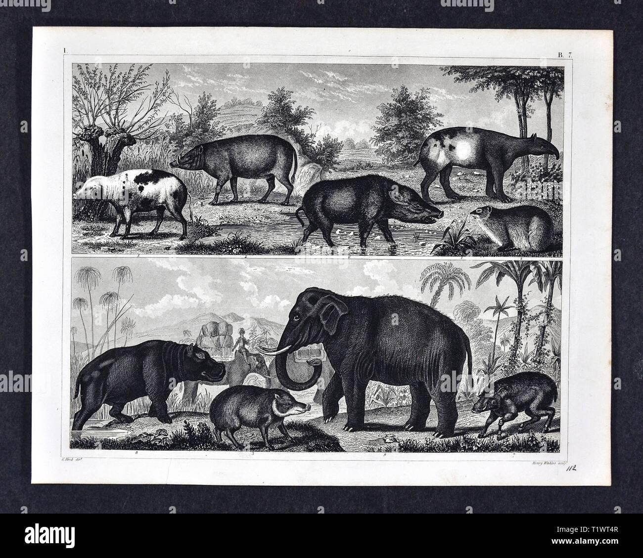 1849 Zoological Print - Wildlife Animals - Mammals - Tapirs, Pigs, Hippopotamus and Elephant - Stock Image