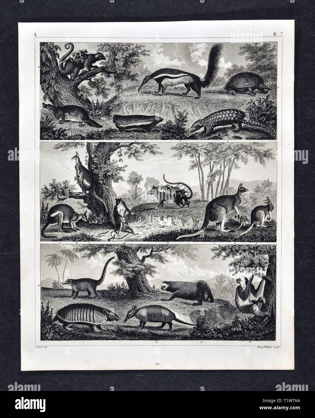 1849 Zoological Print - Wildlife Animals - Mammals Marsupial Kangaroos, Possum, and Armadillos, Pangolin, Platypus, Anteaters and Lemurs - Stock Image