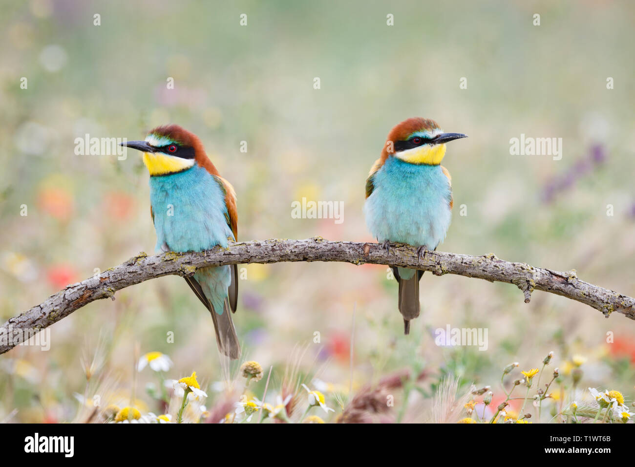 European Bee-eater (Merops apiaster), pair, perched on branch, Lleida Steppes, Catalonia, Spain Stock Photo
