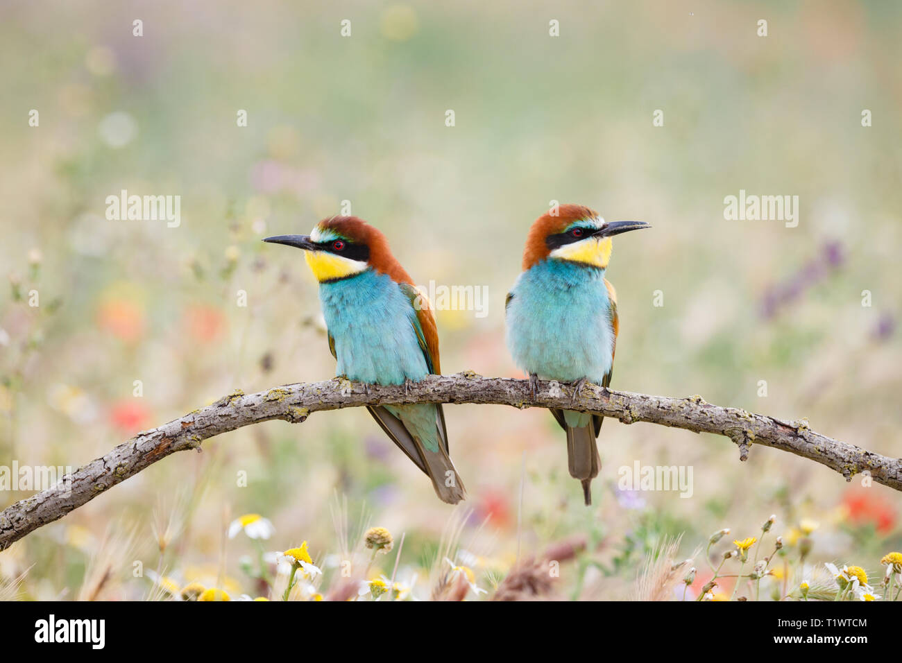 European Bee-eater (Merops apiaster), pair, perched, on the Lleida Steppes, Catalonia, Spain Stock Photo