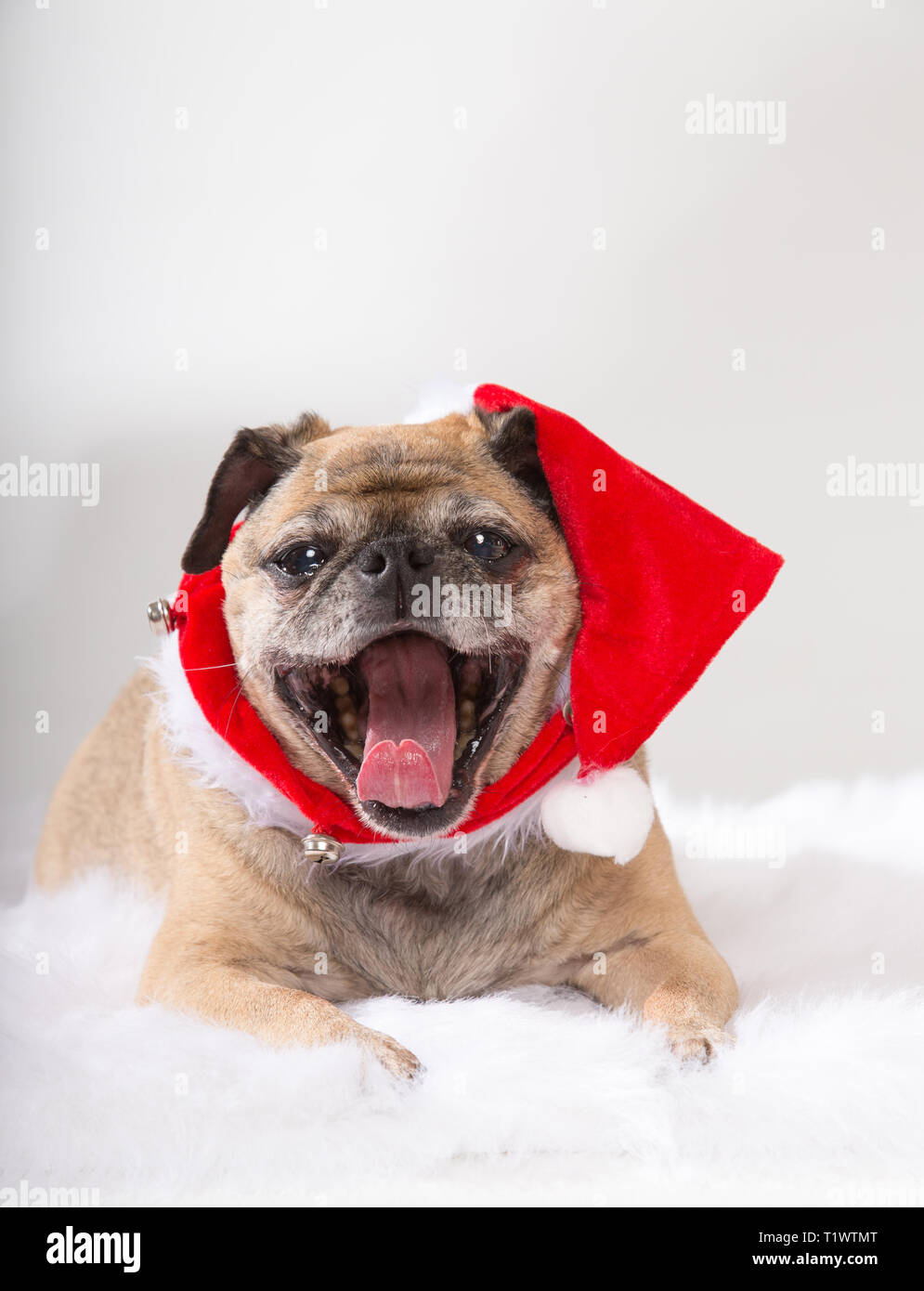 Old pug wearing santa hat and yawning - Stock Image