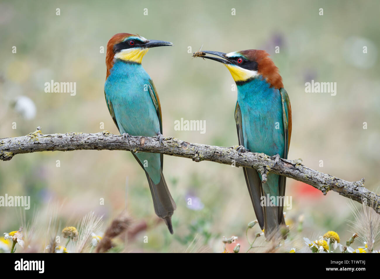 European Bee-eater (Merops apiaster), adult male offering insect prey to female, perched on branch, Lleida Steppes, Catalonia, Spain Stock Photo