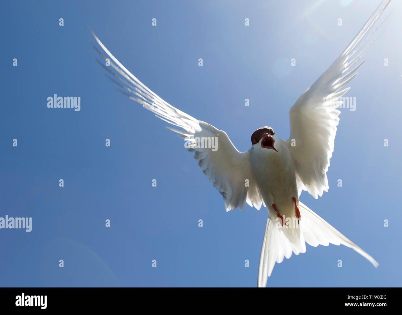 Arctic Tern attacking - Stock Image