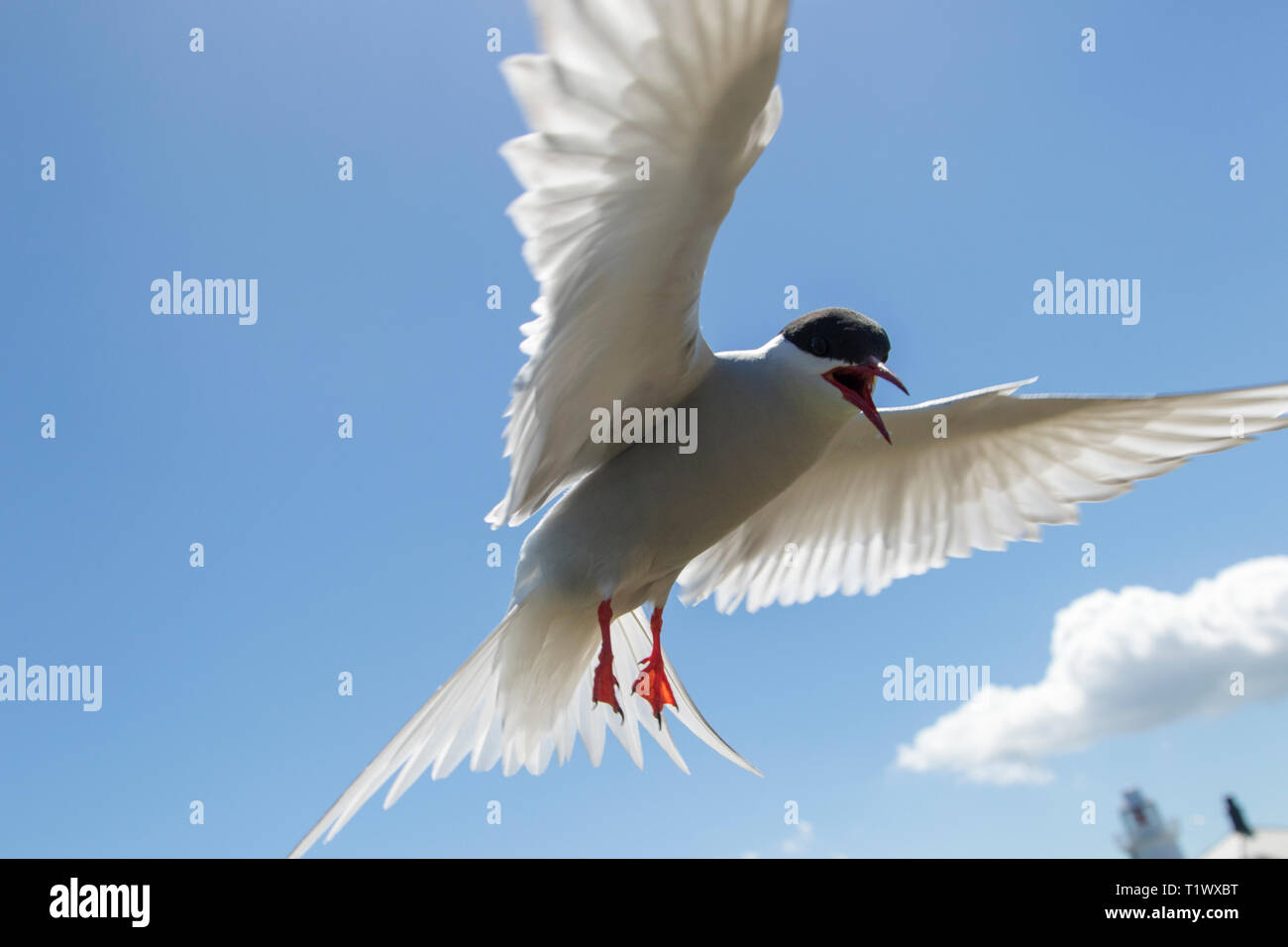 Arctic Tern Protecting its nest - Stock Image