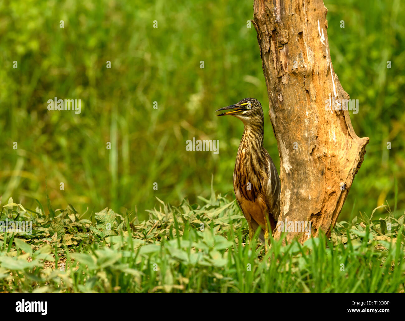 Pond heron and egrets in natural habitat, with expanded wings, searching for food... - Stock Image