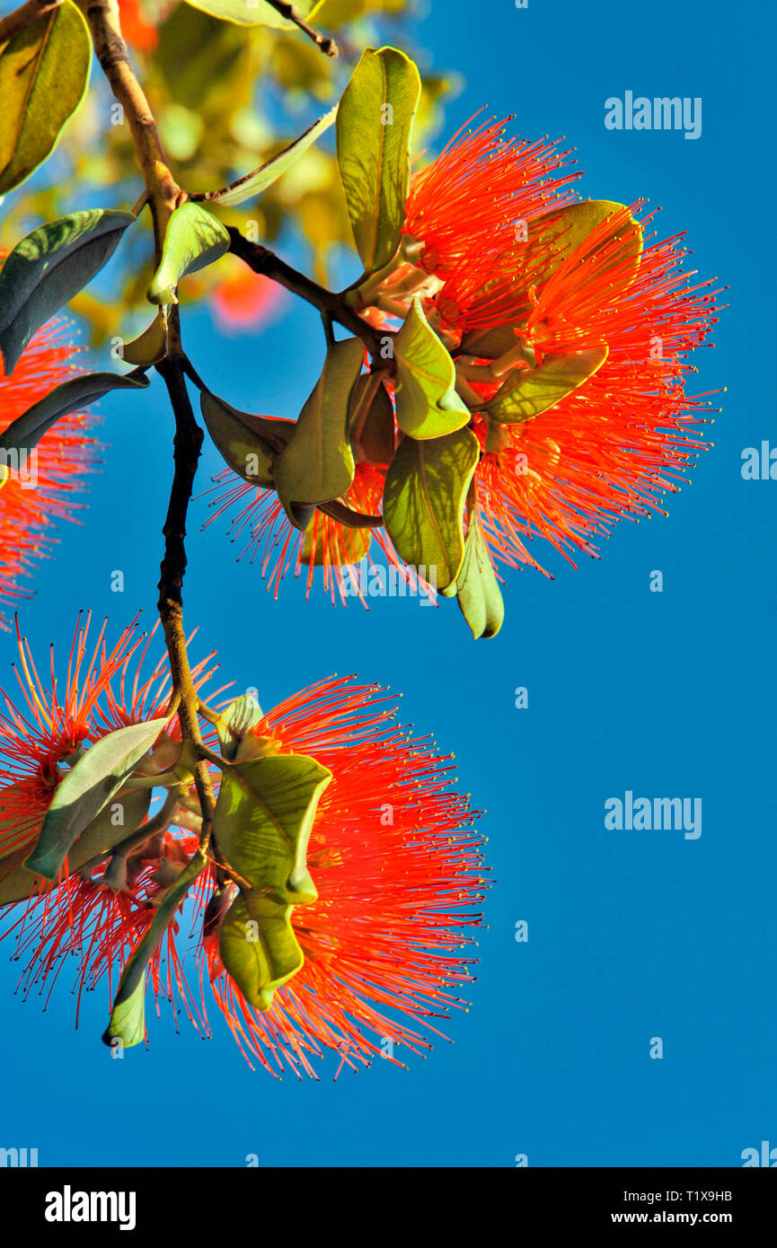 Australian Bottle Brush, or Callistemon. A genus of shrubs in the family Myrtaceae, native to Australia. The red and green contrast with the blue sky. - Stock Image