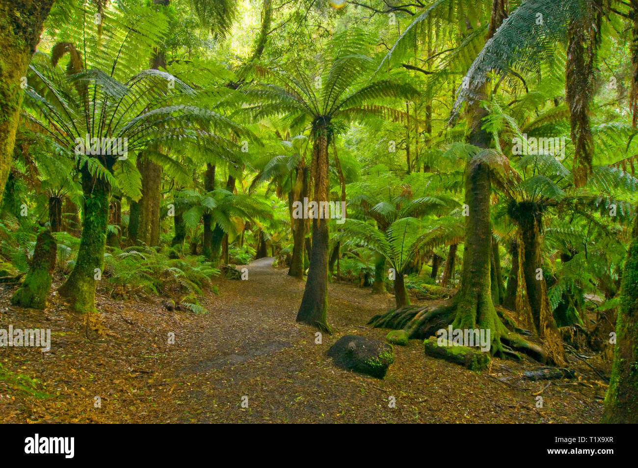 Soft green lighting issues from beneath the canopy of a palm forest. Tasmaina, Australia. - Stock Image