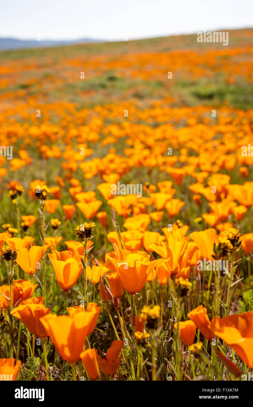 Poppies grow in a field during the California superbloom of wildflowers - Stock Image
