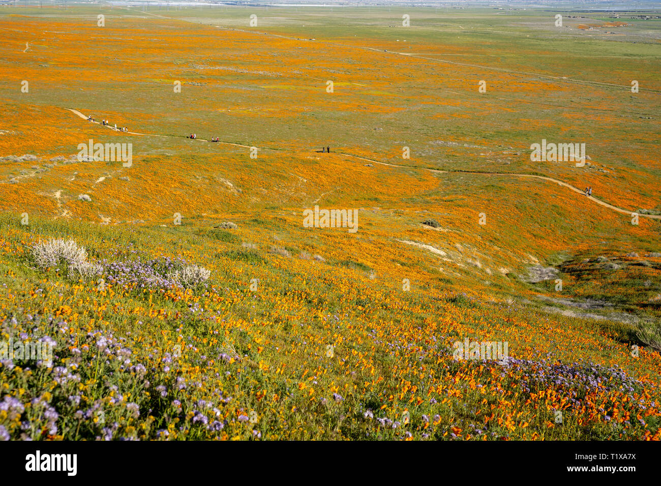 Extreme wide angle view of the Antelope Valley Poppy Reserve poppies wildflower field during the superbloom - Stock Image