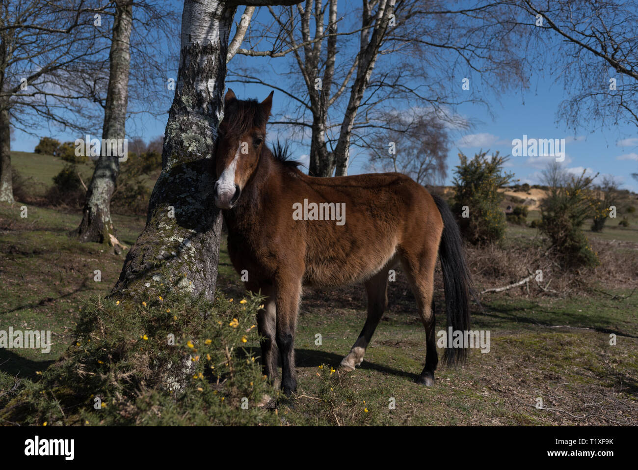 New forest scene with ponies and horses - Stock Image