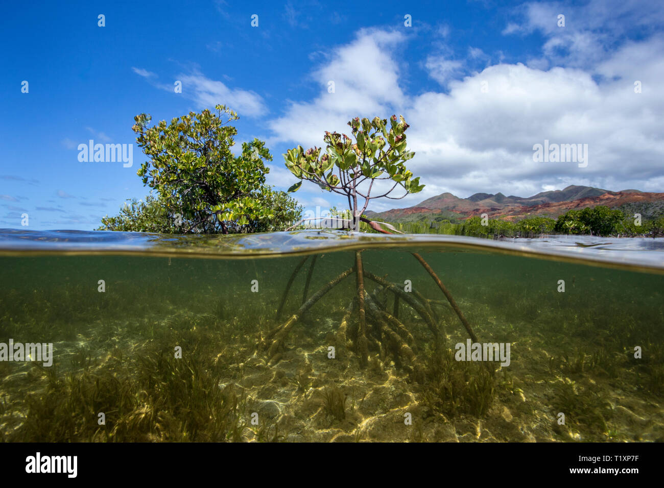 Mangroves on the Forgotten Coast, Southern Lagoon Unesco World Heritage Site, New Caledonia. - Stock Image