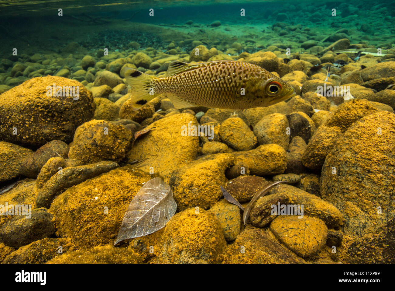 Rock flagtail (Kuhlia rupestris) in a crystal clear river on the Forgotten Coast, Southern Lagoon Unesco World Heritage Site, New Caledonia. - Stock Image