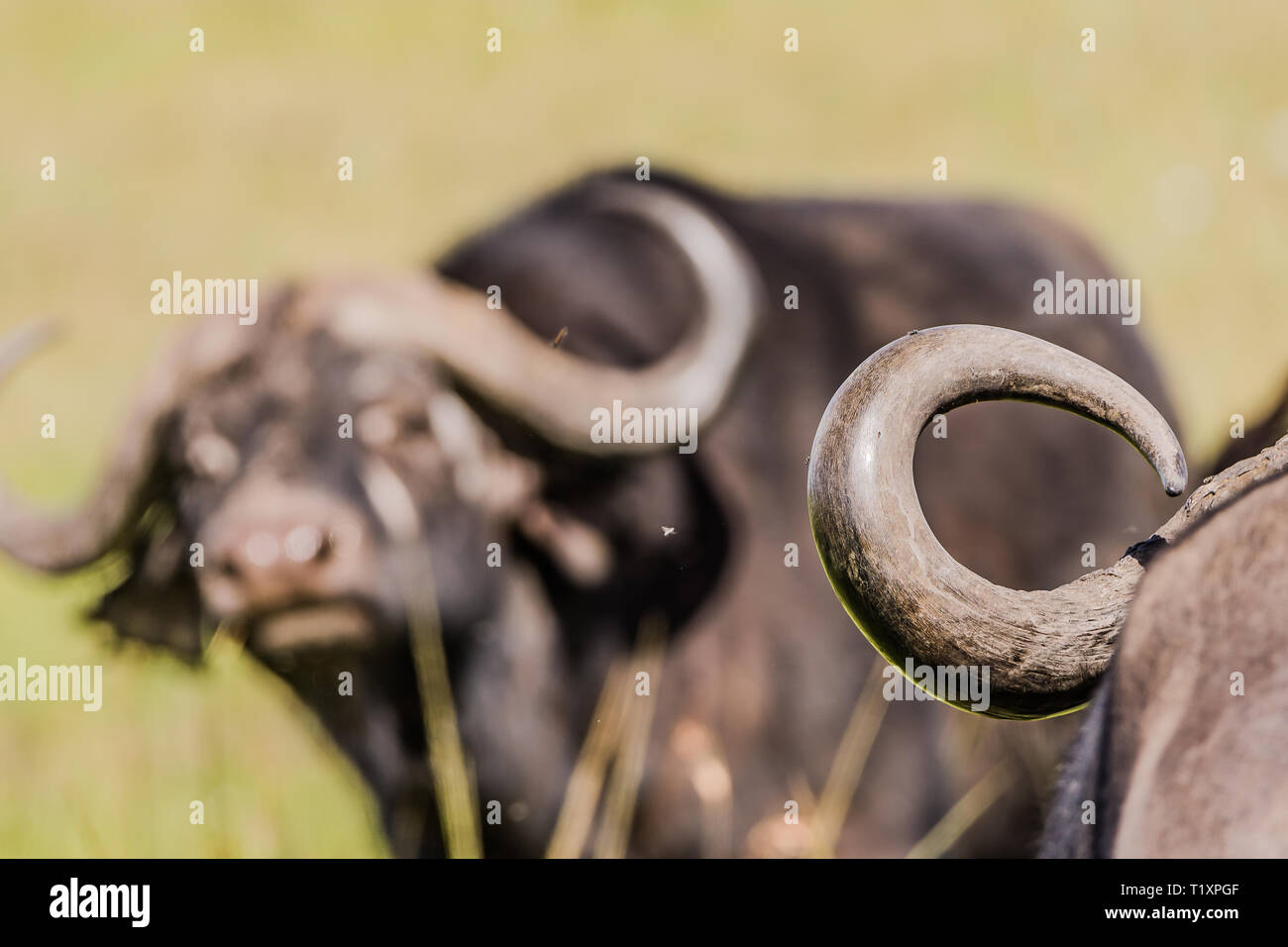 A Buffalo with Horns in the background - Stock Image