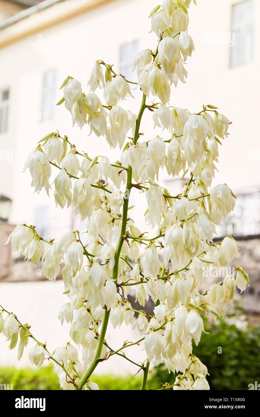 Blooming Soaptree yucca (Yucca elata) in the garden. Spanish dagger, displaying panicles of bell shaped flowers - Stock Image