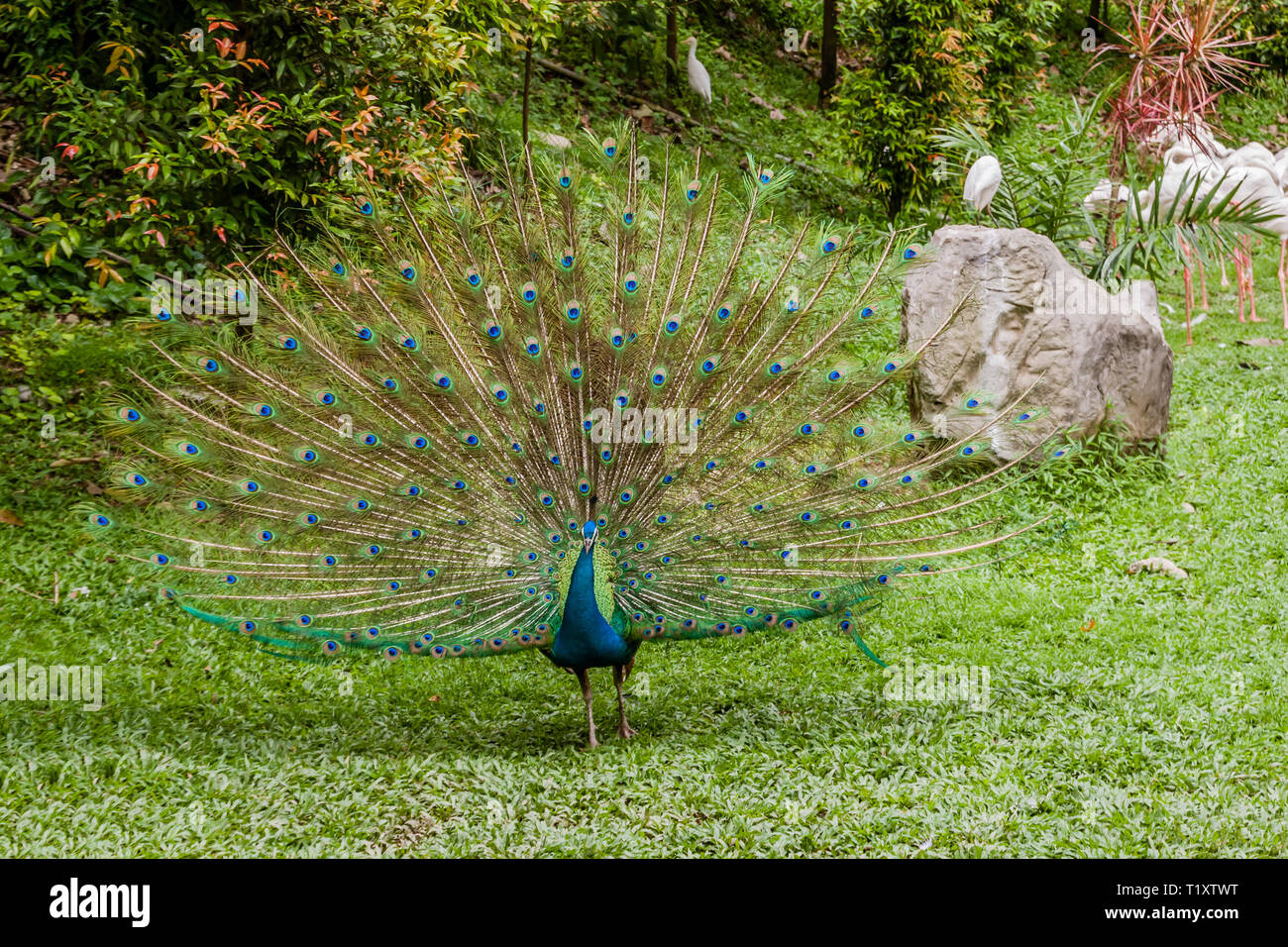 A gorgeous Indian peacock in a park - Stock Image
