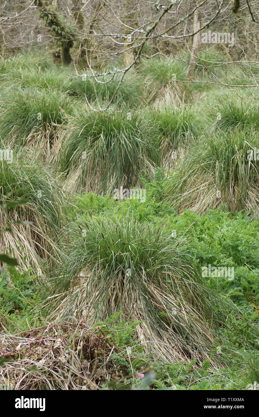Carex paniculata (Greater Tussock Sedge) - Stock Image