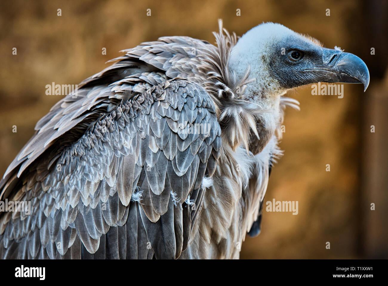 Eagle Wild Bird Stock Photo