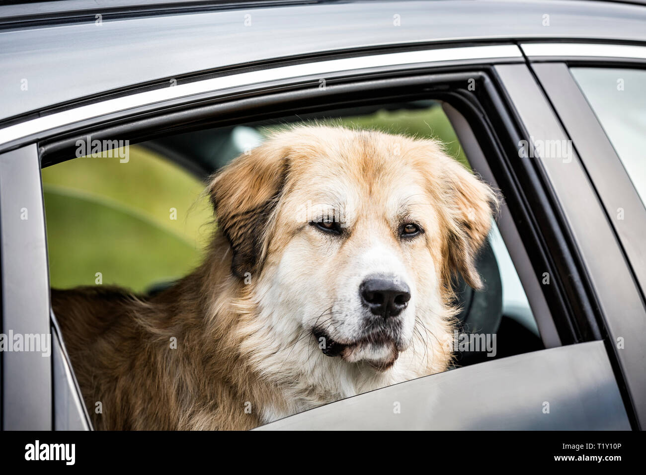 Dog going for a car ride, Winnipeg, Manitoba, Canada. - Stock Image
