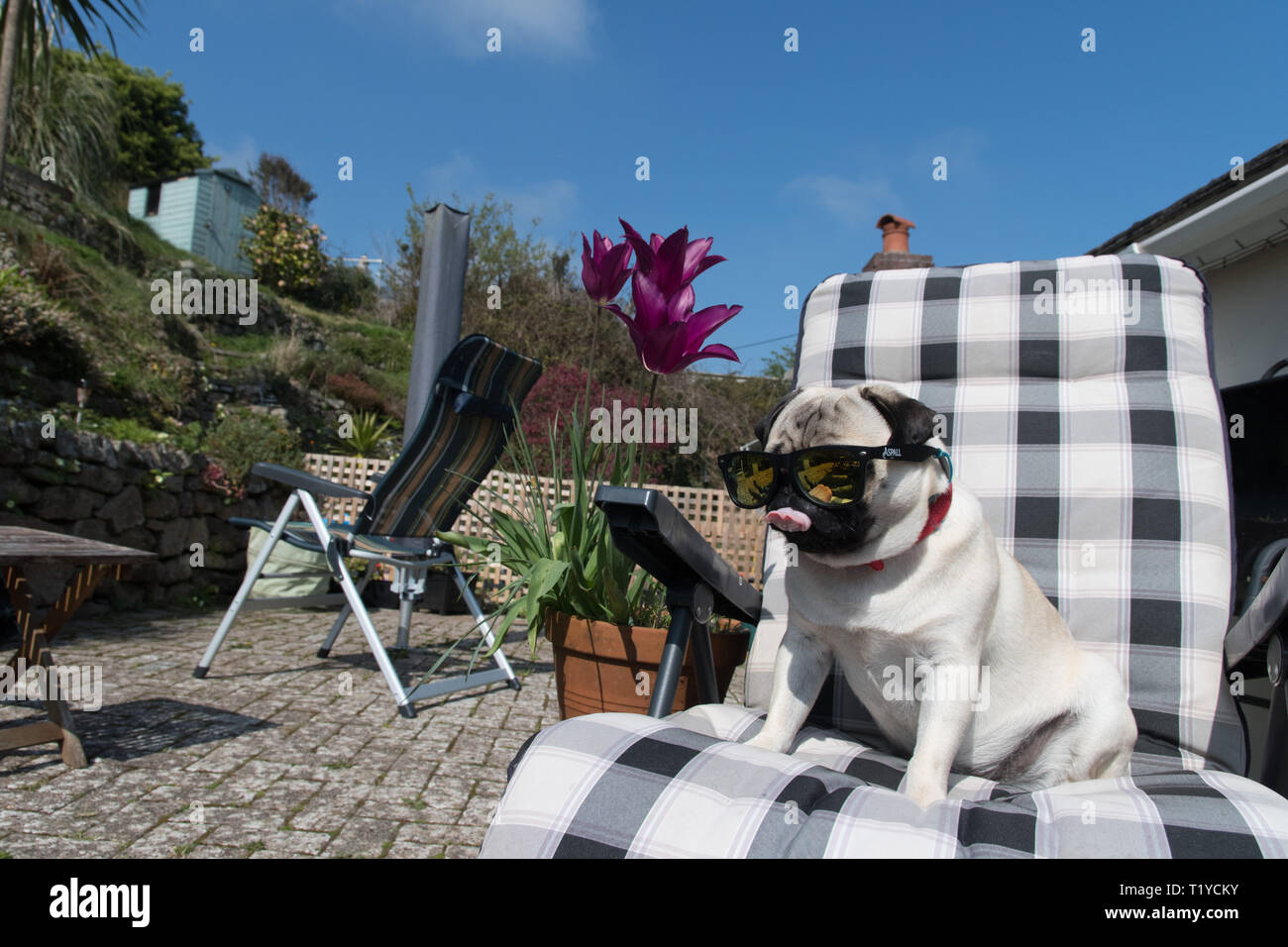Mousehole, Cornwall, UK. 29th Mar, 2019. UK Weather. Titan the pug pup, out in his back garden making the most of the sunshine whilst it lasts. Credit: Simon Maycock/Alamy Live News Stock Photo