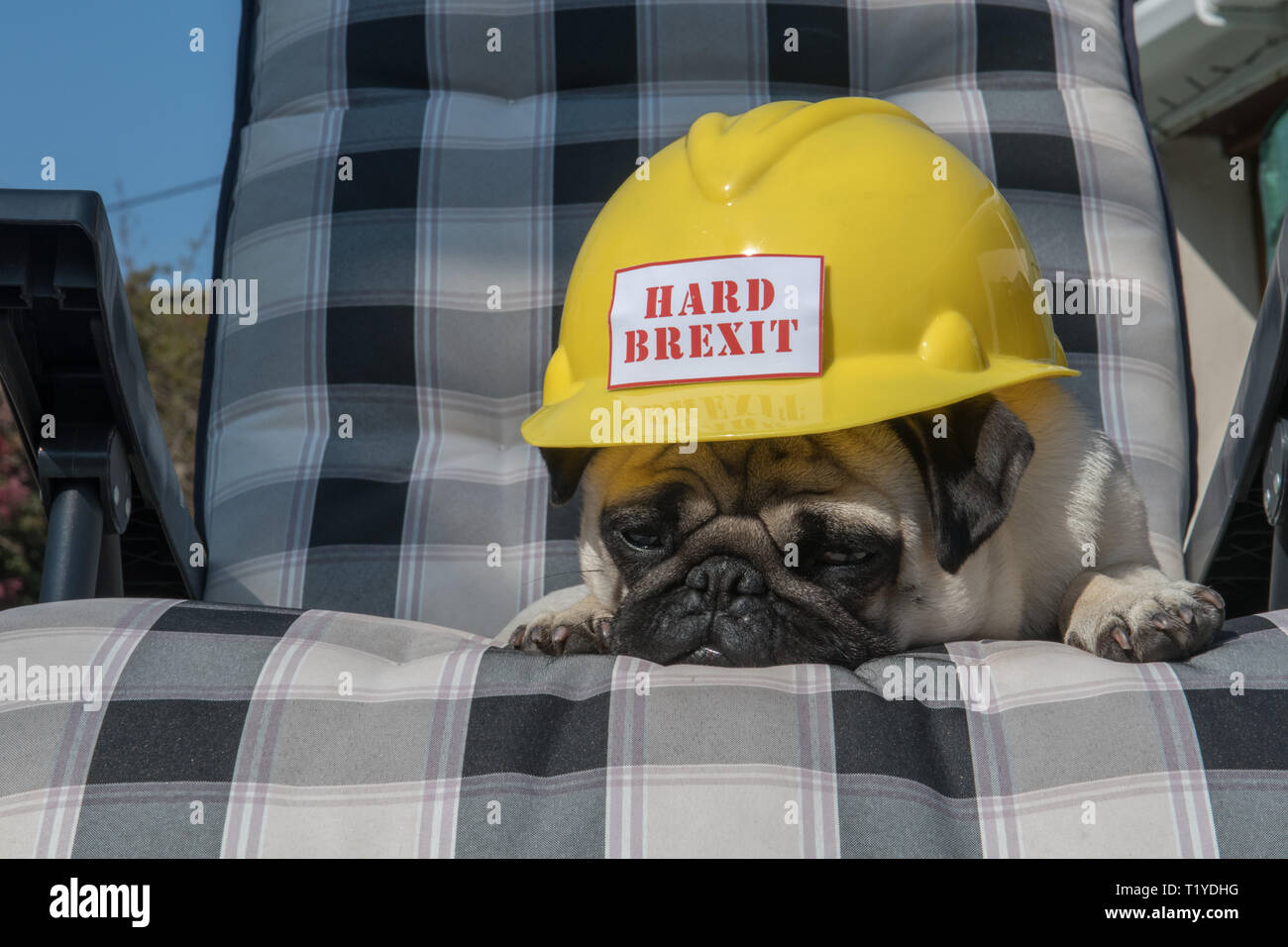 Mousehole, Cornwall, UK. 29th Mar, 2019. Brexit. Brext day comes and goes, and Brexit boredom sets in in Cornwall, as Titan the pug has just had enough. Credit: Simon Maycock/Alamy Live News Stock Photo