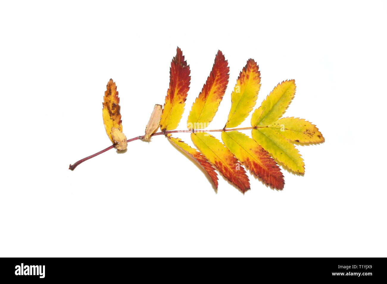 Autumn rowan leaf isolated on white background Stock Photo