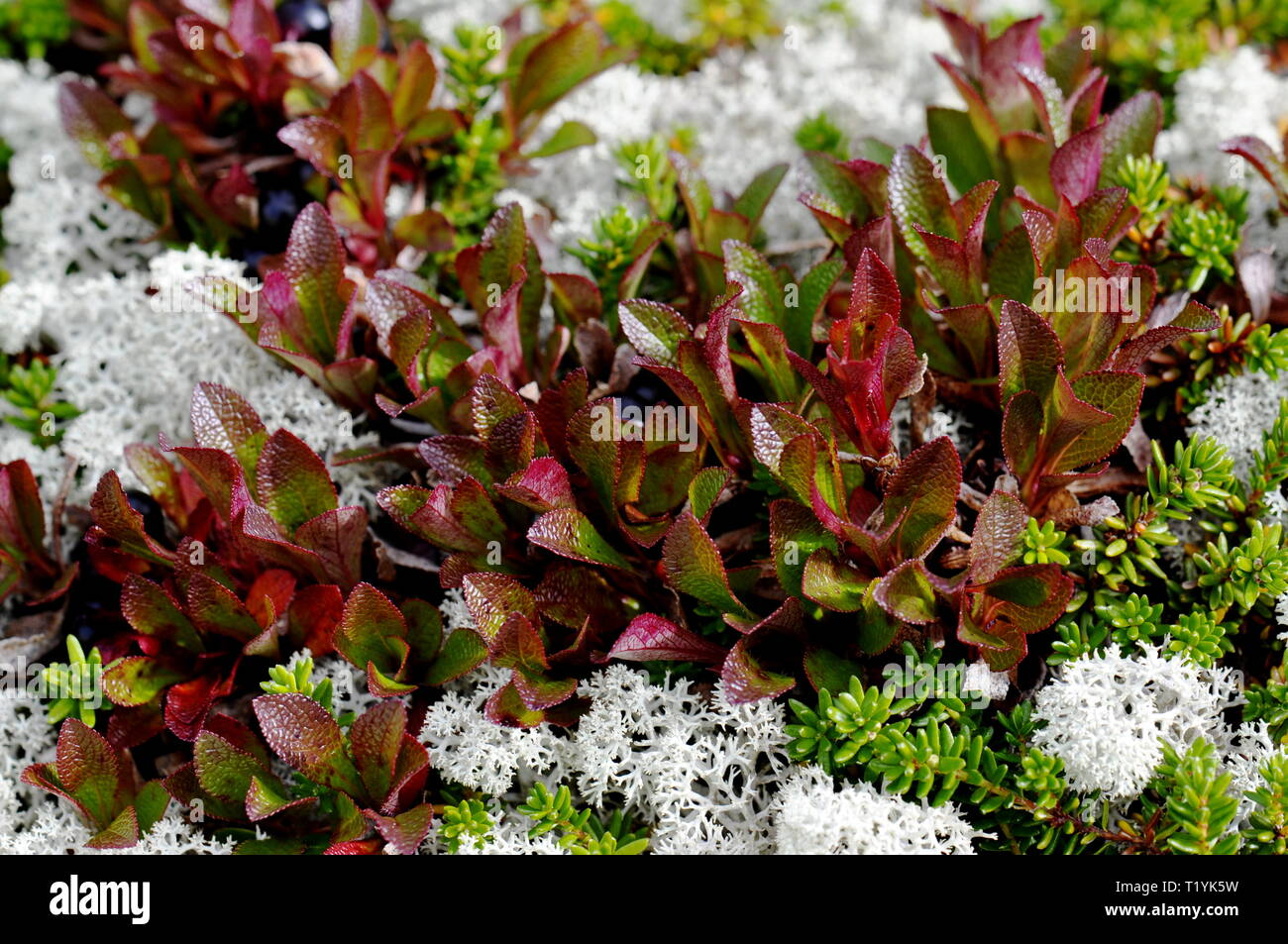 Autumn colored bearberry leaves Stock Photo