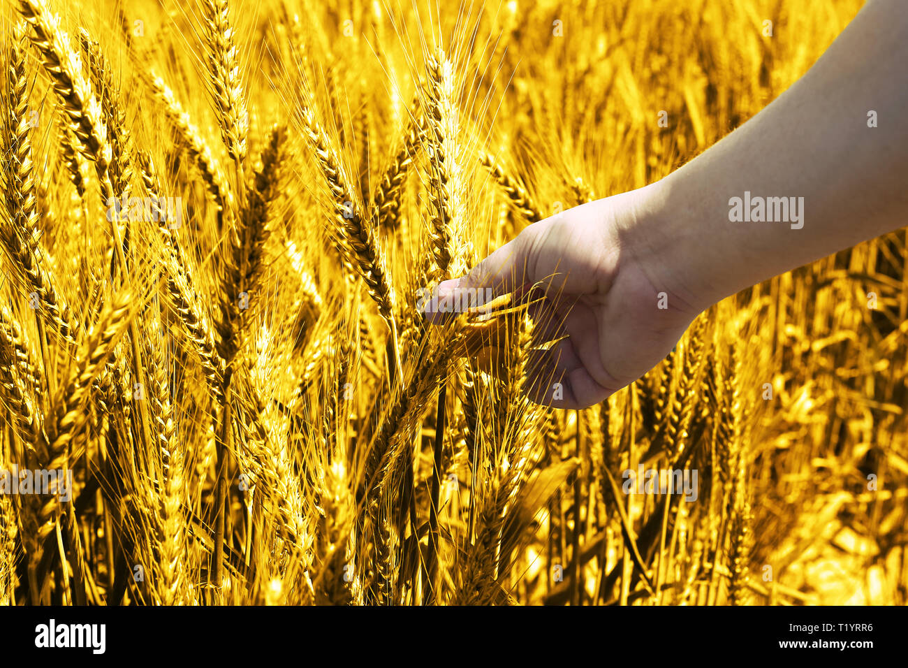 Picture of green wheat fields for baisakhi festival. Stock Photo
